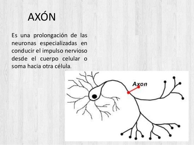 AXÓN Es una prolongación de las neuronas especializadas en conducir el impulso nervioso desde el cuerpo celular o soma hac...