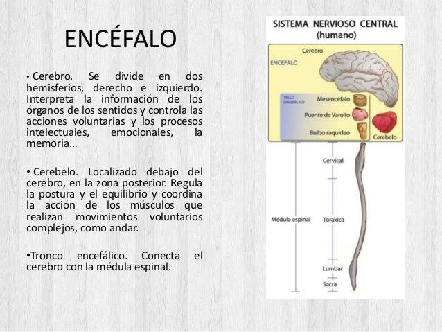 ENCÉFALO • Cerebro. Se divide en dos hemisferios, derecho e izquierdo. Interpreta la información de los órganos de los sen...