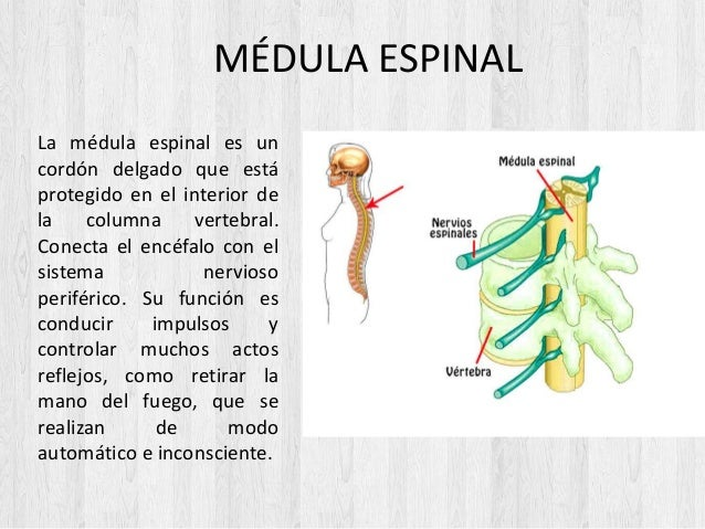 MÉDULA ESPINAL La médula espinal es un cordón delgado que está protegido en el interior de la columna vertebral. Conecta e...