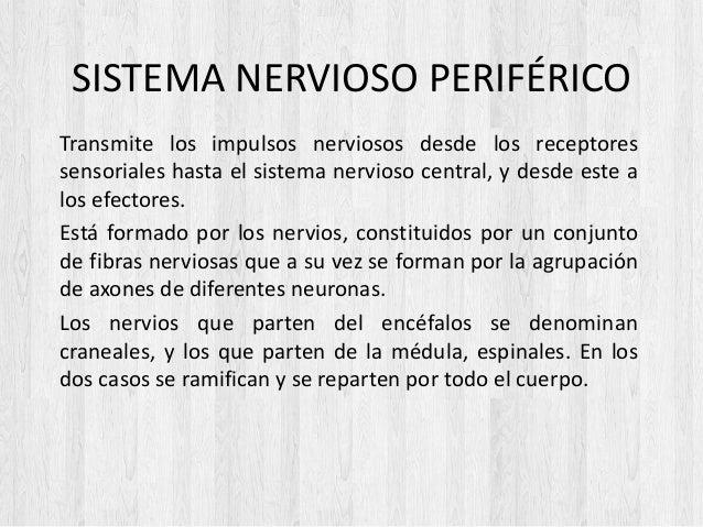 SISTEMA NERVIOSO PERIFÉRICO Transmite los impulsos nerviosos desde los receptores sensoriales hasta el sistema nervioso ce...