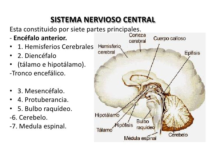 Contemporáneo Tres Partes Principales Del Sistema Nervioso ...