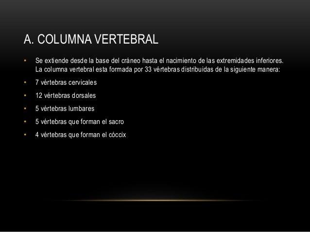 A. COLUMNA VERTEBRAL • Se extiende desde la base del cráneo hasta el nacimiento de las extremidades inferiores. La columna...