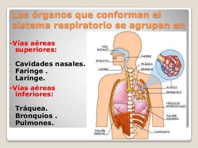 El sistema respiratorio,morfologia (1)
