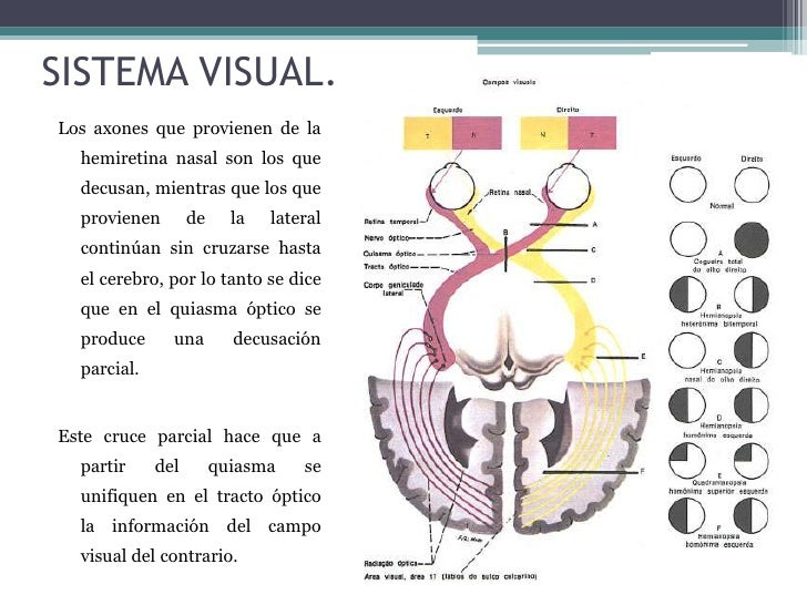 El sistema visual
