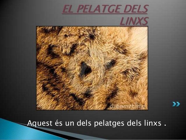 EL PELATGE DELS LINXS  Aquest és un dels pelatges dels linxs .