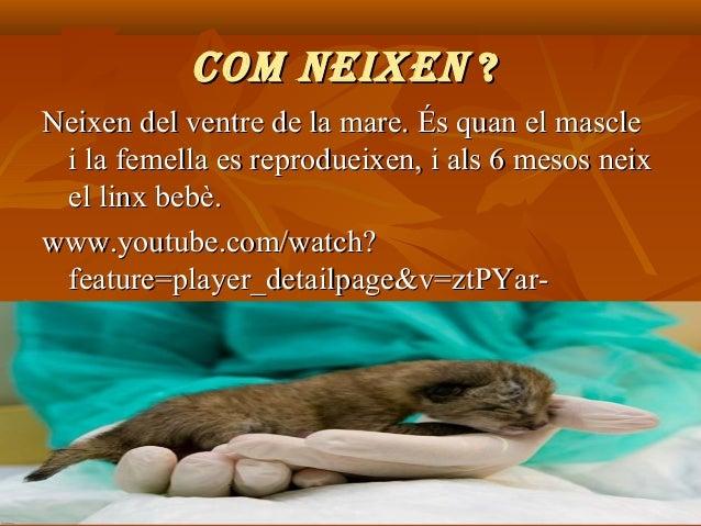 COM NEIXEN ? Neixen del ventre de la mare. És quan el mascle i la femella es reprodueixen, i als 6 mesos neix el linx bebè...