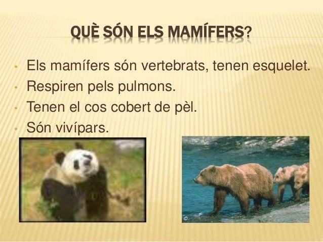 QUÈ SÓN ELS MAMÍFERS? • Els mamífers són vertebrats, tenen esquelet. • Respiren pels pulmons. • Tenen el cos cobert de pèl...