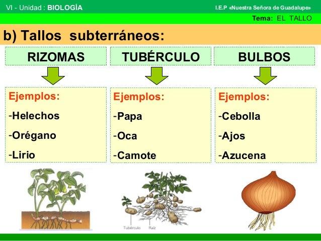 El tallo - Reproduccion del bambu ...