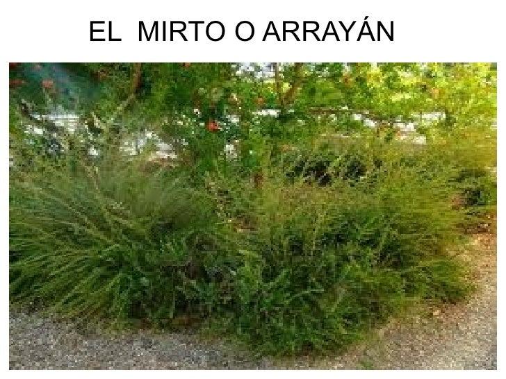EL MIRTO O ARRAYÁN
