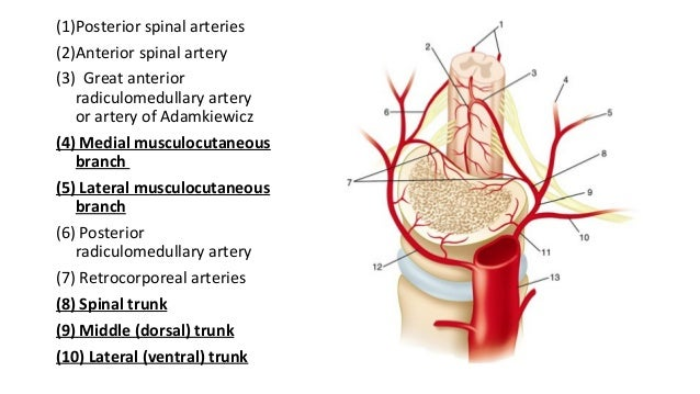 Vascular Anatomy of Spinal Cord