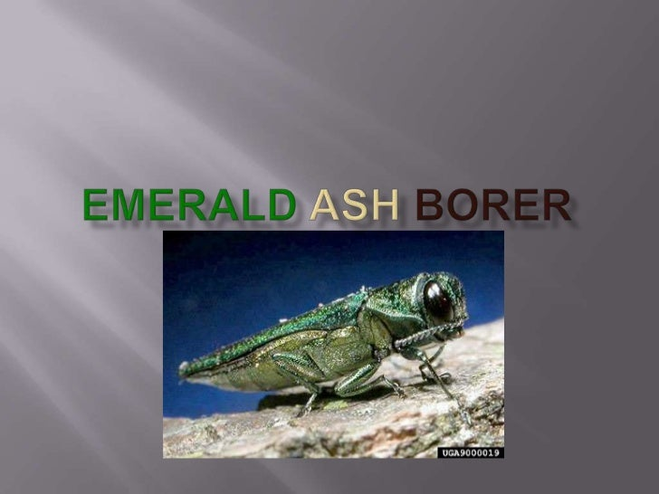     The emerald ash borer is a bug that is native to    Asia. Its first sighting in America was in June    2002 in Canton...