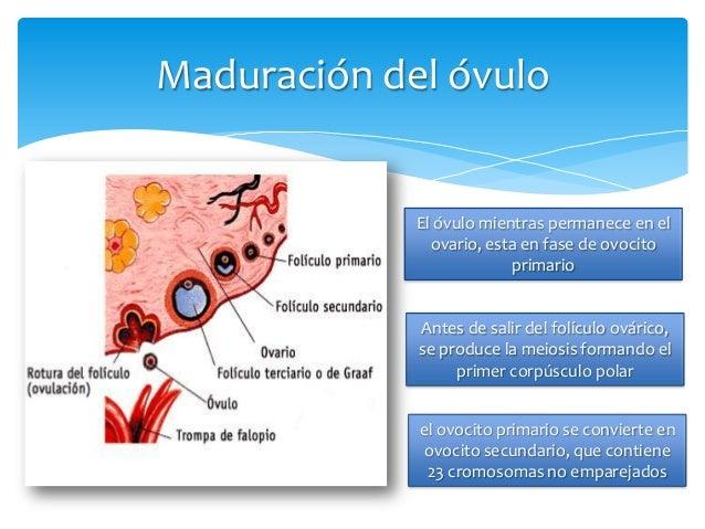 Embarazo y lactancia fisiologia Slide 2