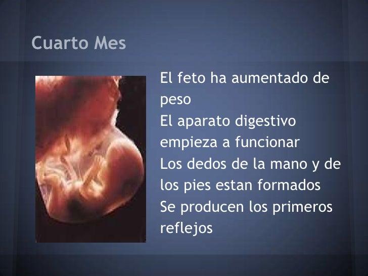 Desarrollo del embri n durante el embarazo for Cuarto mes de embarazo