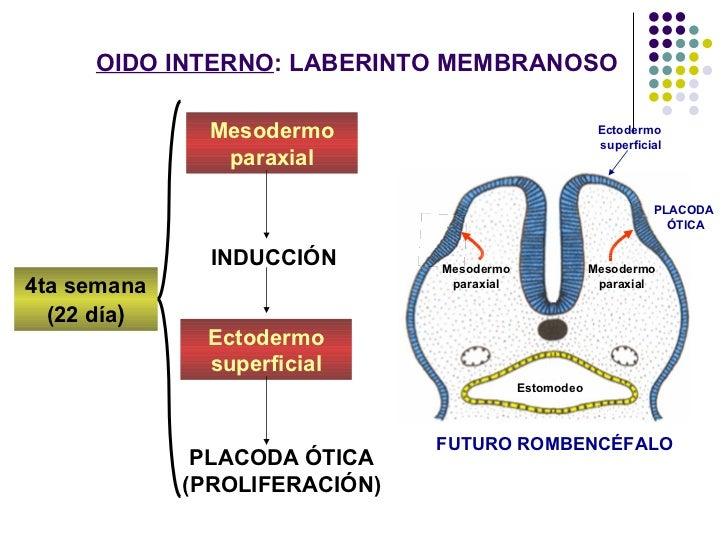 Embrio  -oido[1]