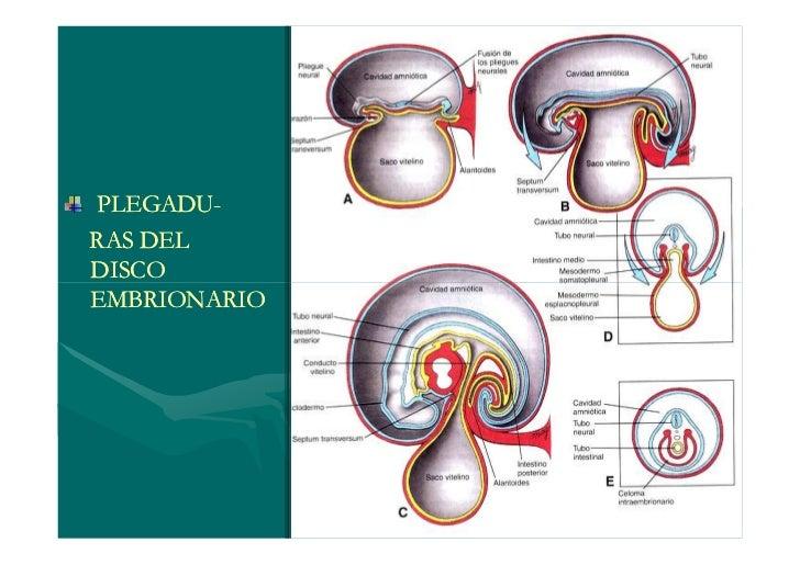 EMBRIOLOGIA: 4 A 8 SEMANA          CUARTA SEMANADIA    PRIMER ARCO MANDIBULAR24     SEGUNDO ARCO HIOIDEO       TRES PARES ...