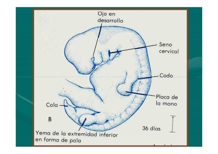 Embrio 4 a 8