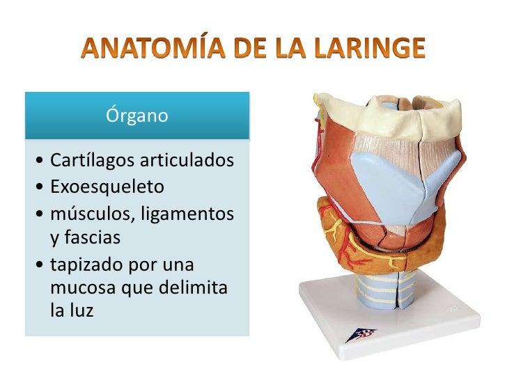 Fantástico Anatomía Y Fisiología Laringe Ideas - Anatomía de Las ...