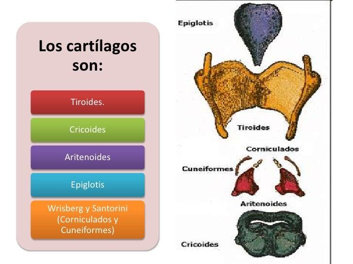 Lujo Ppt Laringe Anatomía Inspiración - Anatomía de Las Imágenesdel ...