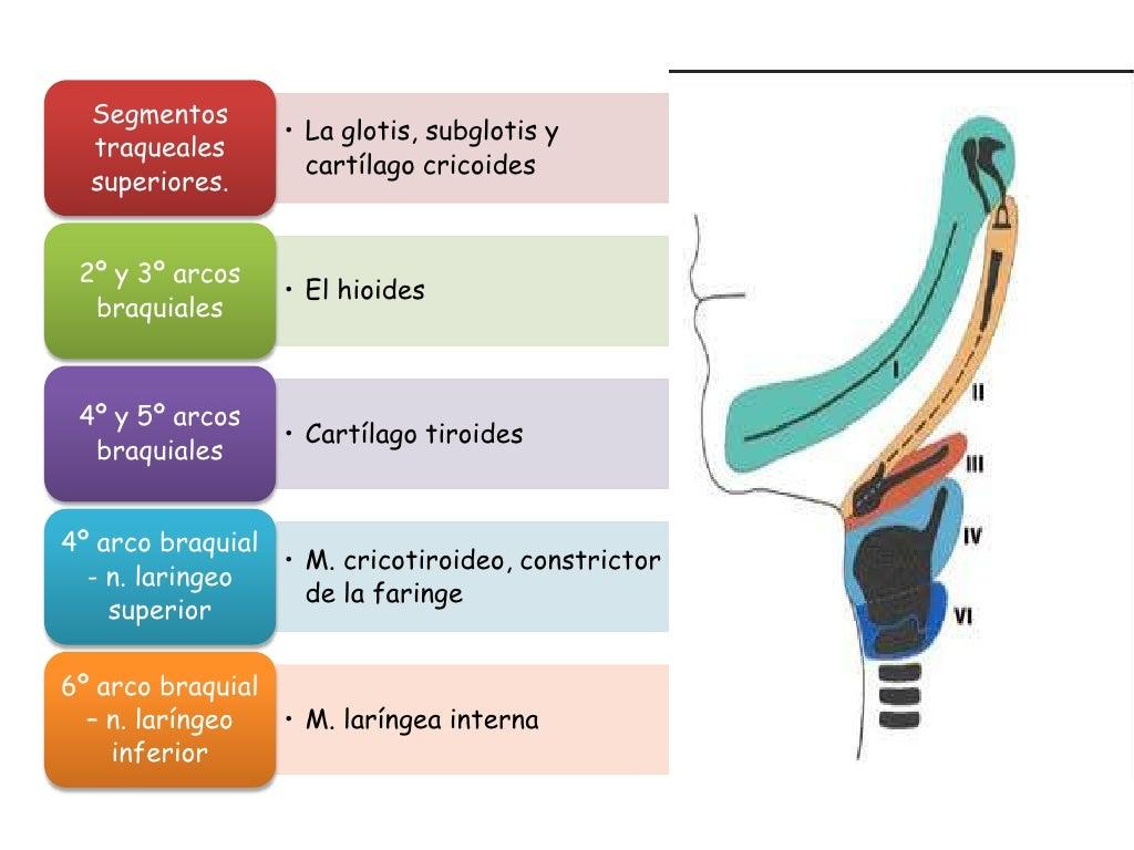 Famoso Anatomía Y Fisiología De La Laringe Festooning - Imágenes de ...