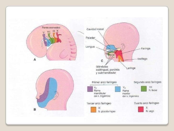 Arcos faríngeos/Embriología de cabeza cara y cuello- Montalván Mirand…