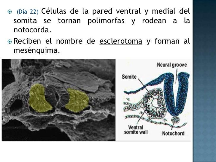 Situsinversus<br />Malformación genética de carácter hereditario<br />Consiste en una alineación errónea de los órganos de...