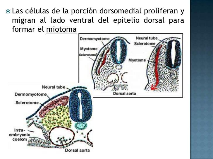 Síntomas:<br />Piel azulada <br />Dificultad respiratoria <br />Insuficiencia para crecer y aumentar de peso <br />Fatiga ...