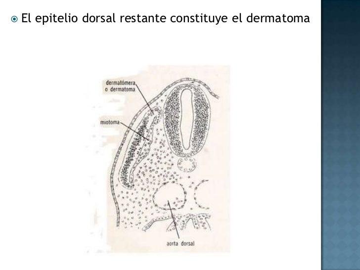 Desarrollo ulterior del trofoblasto<br />Hacia el comienzo de la tercera semana, el trofoblasto se caracteriza por las vel...