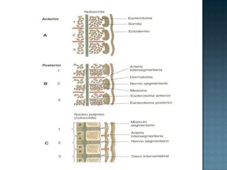 <ul><li>Las células mesodérmicas de la parte central de la vellosidad comienzan a diferenciarse en células sanguíneas y va...