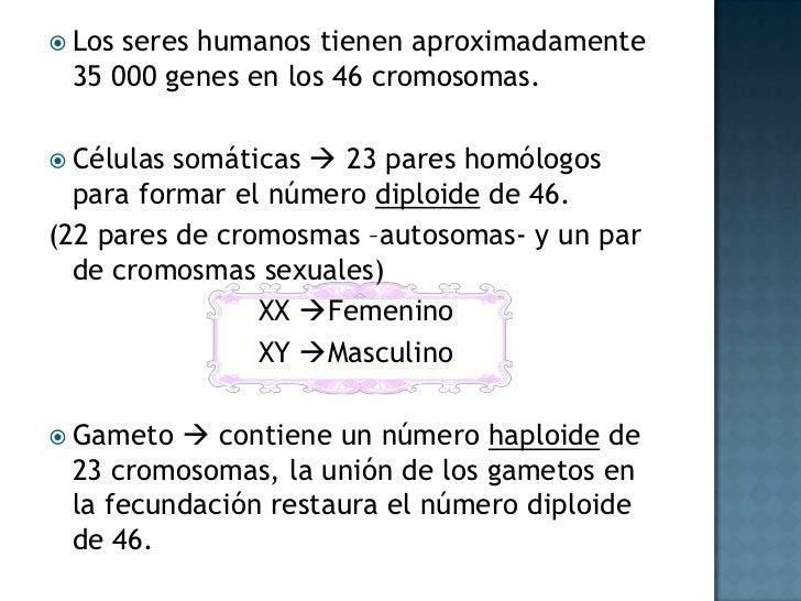 Los seres humanos tienen aproximadamente 35 000 genes en los 46 cromosomas.<br />Células somáticas  23 pares homólogos pa...