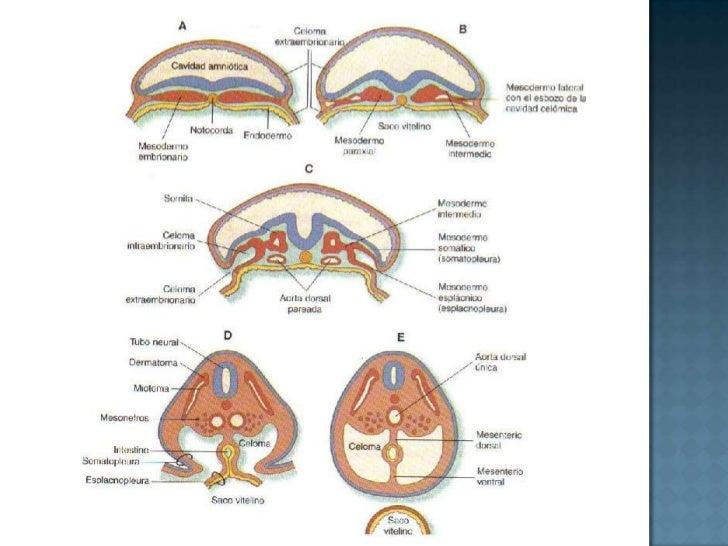 Poco a poco los pliegues neurales se aproximan hasta fusionarse. ( en dirección cefalocaudal)<br />El resultado de la fusi...