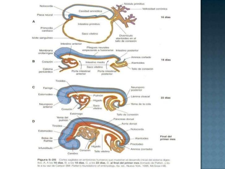 Evolución de la Notocorda<br />Queda interpuesta entre el tubo neural y el intestino primitivo<br />Colabora con la formac...