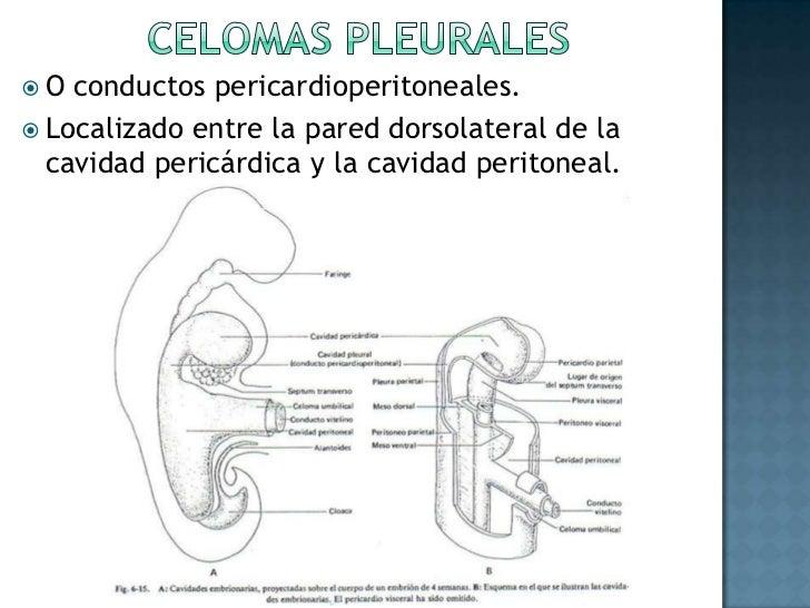 Evolución de SOMITAS<br />Situadas a los lados del conjunto formado por el tubo neural, las crestas neurales y la notocord...