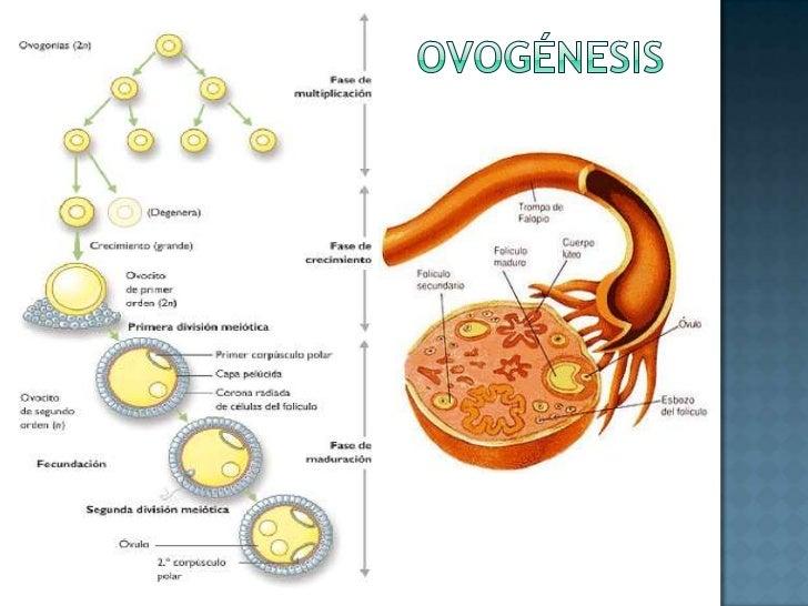 ovogénesis<br />