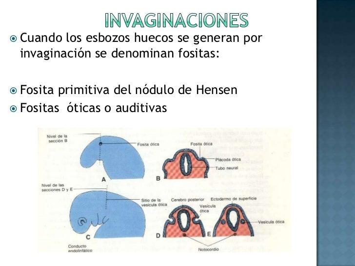 Celoma pericárdico<br />Se transforma en una cavidad localizada en la región ventral del cuerpo, entre el estomodeo y el c...