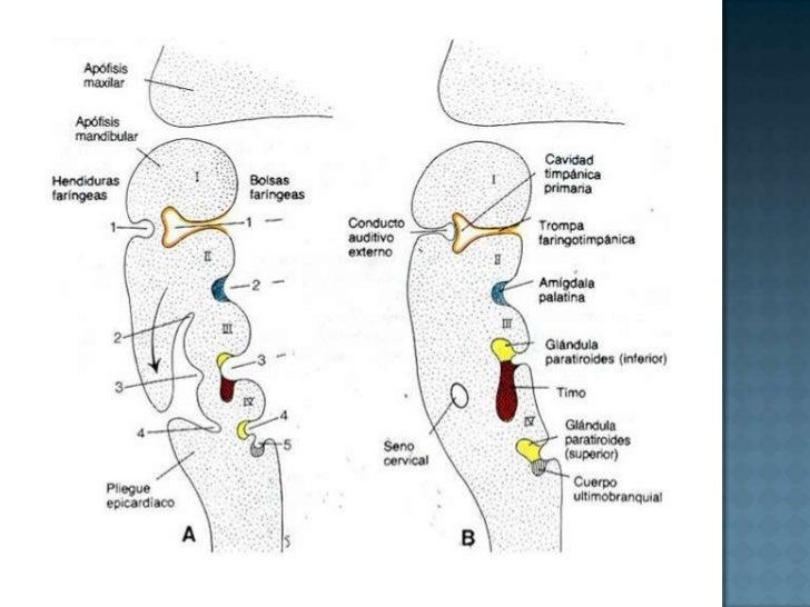 Celomas pleurales<br />O conductos pericardioperitoneales.<br />Localizado entre la pared dorsolateral de la cavidad peric...