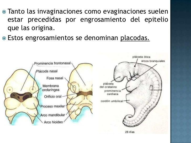 Las cavidades pleurales flanquean al tramo de intestino primitivo que da origen a los pulmones.<br />Pleura parietal: pare...
