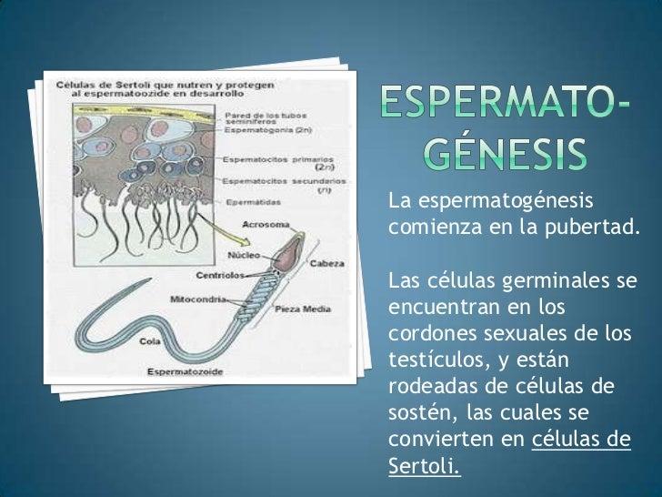Espermato-génesis<br />La espermatogénesis comienza en la pubertad.<br />Las células germinales se encuentran en los cordo...