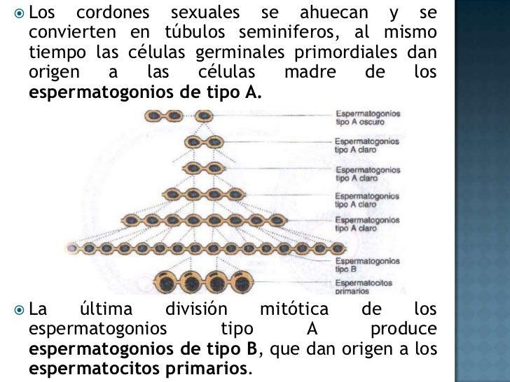 Los cordones sexuales se ahuecan y se convierten en túbulos seminiferos, al mismo tiempo las células germinales primordial...