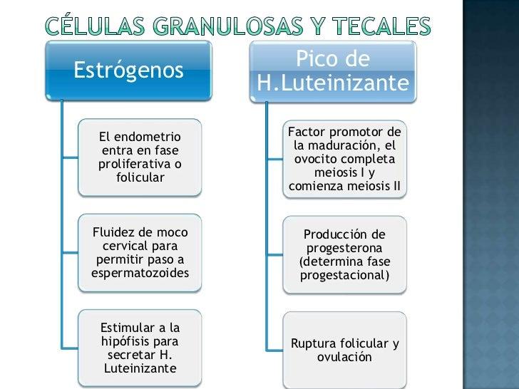 Células granulosas y tecales<br />