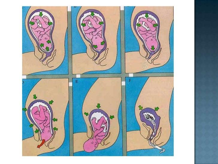 La placenta, adherida a la pared uterina, sigue creciendo y al final de este mes mide un centímetro de espesor.<br />No se...