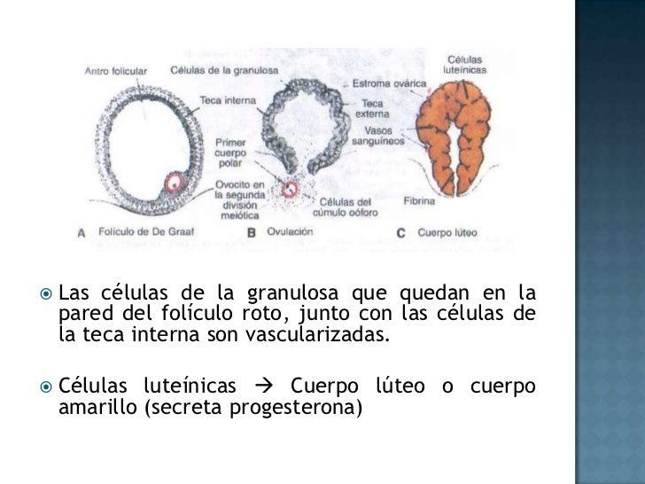 Las células de la granulosa que quedan en la pared del folículo roto, junto con las células de la teca interna son vascula...