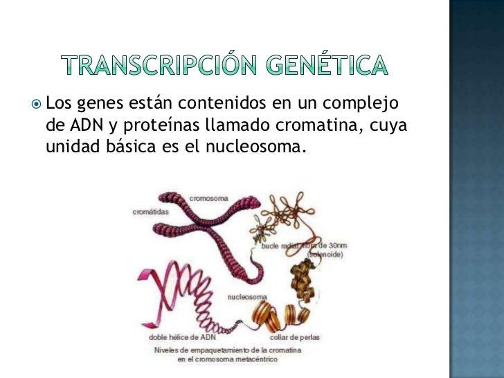 Transcripción Genética<br />Los genes están contenidos en un complejo de ADN y proteínas llamado cromatina, cuya unidad bá...