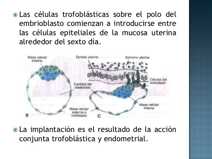 Las células trofoblásticas sobre el polo del embrioblasto comienzan a introducirse entre las células epiteliales de la muc...