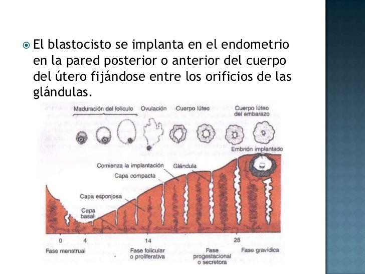 El blastocisto se implanta en el endometrio en la pared posterior o anterior del cuerpo del útero fijándose entre los orif...