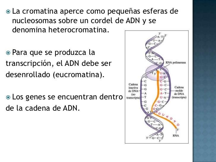La cromatina aperce como pequeñas esferas de nucleosomas sobre un cordel de ADN y se denomina heterocromatina.<br />Para q...