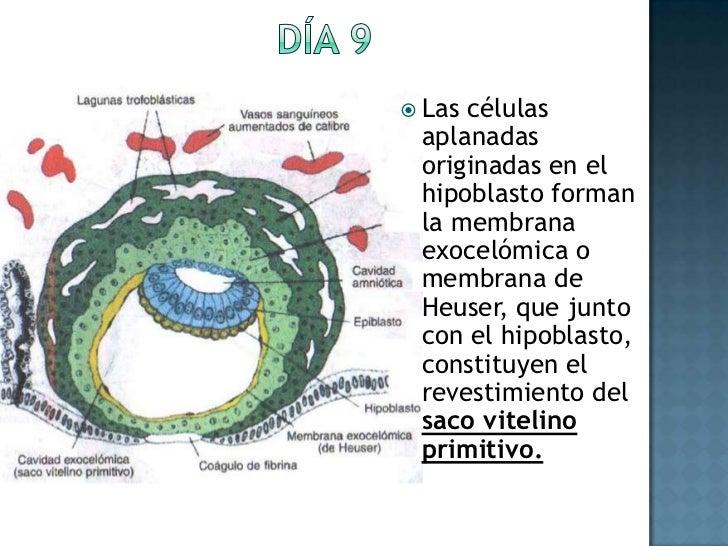 Día 9<br />Las células aplanadas originadas en el hipoblasto forman la membrana exocelómica o membrana de Heuser, que junt...