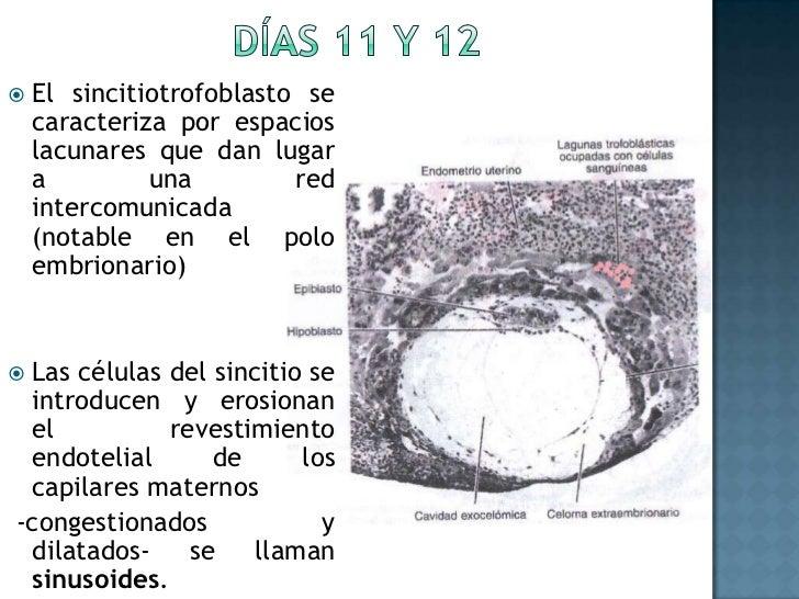 Días 11 y 12<br />El sincitiotrofoblasto se caracteriza por espacios lacunares que dan lugar a una red intercomunicada (no...