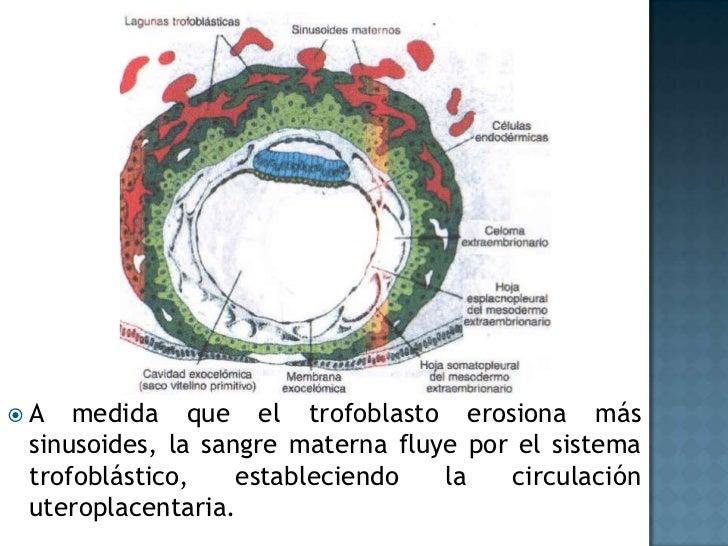 A medida que el trofoblasto erosiona más sinusoides, la sangre materna fluye por el sistema trofoblástico, estableciendo l...