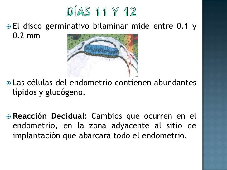 Días 11 y 12<br />El disco germinativo bilaminar mide entre 0.1 y 0.2 mm<br />Las células del endometrio contienen abundan...