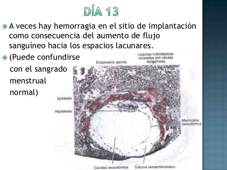 Día 13<br />A veces hay hemorragia en el sitio de implantación como consecuencia del aumento de flujo sanguíneo hacia los ...